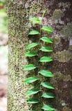 Kletternde Rebe und Flechten bedeckten Baum-Stamm Stockbilder