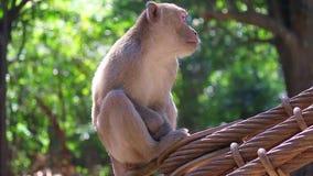 Kletternde Riemen haarigen Affen Browns mit dem Spinnen stock video footage
