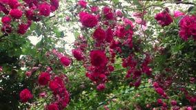 Kletternde Rosen, die vom Bogen hängen stock video footage