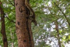 Kletternder Baum des Eichhörnchens mit Unschärfehintergrund Lizenzfreies Stockfoto