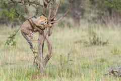 Kletternder Baum Gepard-CUBs, Masai Mara, Kenia lizenzfreies stockbild