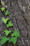 Kletternder Stamm des gemeinen Efeus, Hederahelix L var baltica, frische neue junge immergrüne Kriechpflanze lässt vertikalen Kie lizenzfreie stockbilder