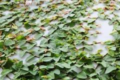 Kletterpflanzen Stockfotos
