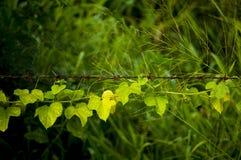 Kletterpflanzen auf einem Stacheldraht Kriechpflanze pflanzt das Wachsen auf Stacheldraht-Zaun Lizenzfreie Stockfotografie
