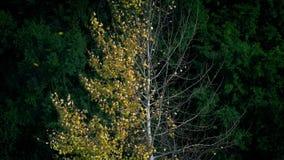 Kleuren veranderende boom van de zomer om te vallen stock footage