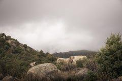 Kleurenbeeld van een groep koeien die op een heuvel weiden Stock Fotografie