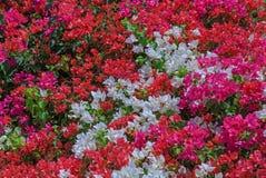 Kleurenbladeren van bougainvilleastruik Royalty-vrije Stock Foto