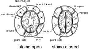 Kleurende pagina Structuur van stomatal complex met open en gesloten stoma vector illustratie