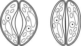 Kleurende pagina Wachtcellen van stoma royalty-vrije illustratie