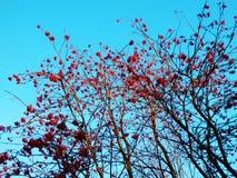 Kleurenfotografie van de herfstbessen Stock Foto's