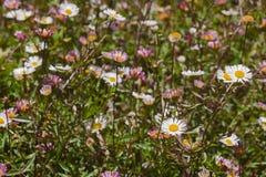Kleurrijk Assortiment van Madeliefjes in een Grasrijke Weide in Bloei royalty-vrije stock fotografie