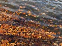 Kleurrijk Autumn Leaves Floating op Meerwater Stock Foto