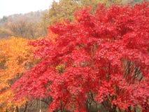 Kleurrijk Autumn Leaves van Esdoornbomen in het Nationale Park, Zuid-Korea Royalty-vrije Stock Foto