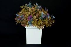 Kleurrijk Basilicum in het wit weinig pot, op zwarte B Royalty-vrije Stock Foto's