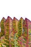 Kleurrijk blad Croton Stock Fotografie