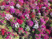 Kleurrijk bloembed tijdens Lentetijd Stock Foto's