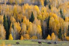 Kleurrijk bos van Xinjiang bij daling Royalty-vrije Stock Foto's