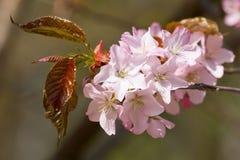Kleurrijk Cherry Blossoming Sacura royalty-vrije stock foto's