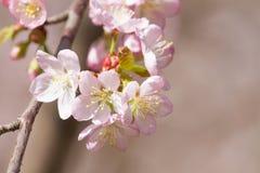 Kleurrijk Cherry Blossoming Sacura royalty-vrije stock foto