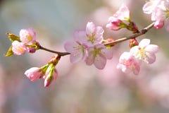 Kleurrijk Cherry Blossoming Sacura royalty-vrije stock afbeelding