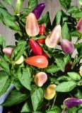 Kleurrijk Chili Pepper Plants royalty-vrije stock fotografie