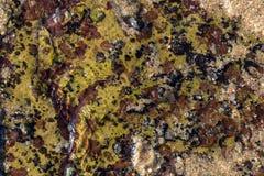 Kleurrijk Eendenmosselen en Lichen Pattern en Texturen op Oever stock foto
