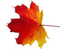 Kleurrijk esdoornblad Royalty-vrije Stock Afbeeldingen