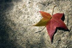 Kleurrijk esdoornverlof Stock Fotografie