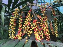 Kleurrijk fruit van Areca catechu Linn stock afbeelding