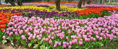 Kleurrijk gebied van tulpen Stock Foto's