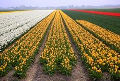 Kleurrijk gebied van tulpen Stock Foto