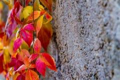 Kleurrijk gekleurd klimopblad dichtbij een concrete muur Stock Fotografie