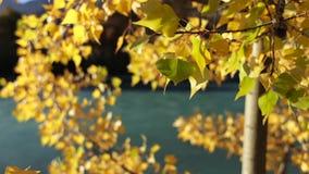 Kleurrijk Gouden Autumn Leaves stock video