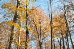 Kleurrijk gouden gebladerte van een bos van de de herfstbeuk Stock Afbeelding