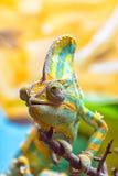 Kleurrijk Kameleon II Stock Afbeelding