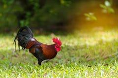 Kleurrijk kippen ferreting voedsel in de ochtend royalty-vrije stock afbeeldingen