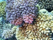Kleurrijk koraalrif bij de bodem van tropische overzees, harde koraalacropora, onderwaterlandschap stock foto