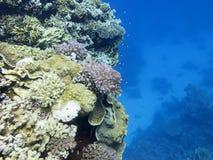 Kleurrijk koraalrif bij de bodem van tropische overzees, harde koralen, onderwaterlandschap stock foto