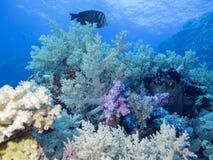 Kleurrijk koraalrif bij de bodem van tropische overzees, onderwaterlandschap stock afbeelding