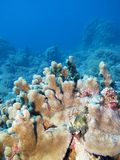 Kleurrijk koraalrif bij de bodem van tropische overzees, onderwaterlandschap royalty-vrije stock fotografie