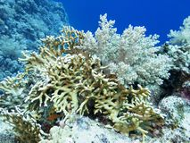 Kleurrijk koraalrif bij de bodem van tropische overzees, onderwaterlandschap royalty-vrije stock afbeelding
