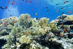 Kleurrijk koraalrif met brandkoralen en vissenanthias in tropische overzees onderwater royalty-vrije stock afbeeldingen