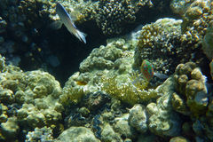 Kleurrijk koraalrif met vissen Royalty-vrije Stock Foto