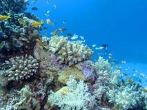 Kleurrijk koraalrif op de bodem van tropische overzees, onderwaterlandschap stock foto's