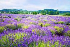 Kleurrijk lavendelgebied in Hongarije dichtbij Tihany Royalty-vrije Stock Foto