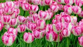 Kleurrijk lilac tulpenbloembed stock fotografie