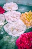 Kleurrijk nam bloemen in water, het stemmen toe royalty-vrije stock afbeeldingen