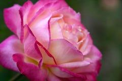 Kleurrijk nam bloemmacro toe Royalty-vrije Stock Foto's