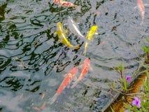Kleurrijk onduidelijk beeld de Karpers of buitensporige Karpers of Koi-karpers die in de vijver zwemmen Royalty-vrije Stock Afbeeldingen