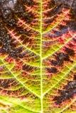 Kleurrijk rood blad in de herfst, Duitsland Stock Fotografie